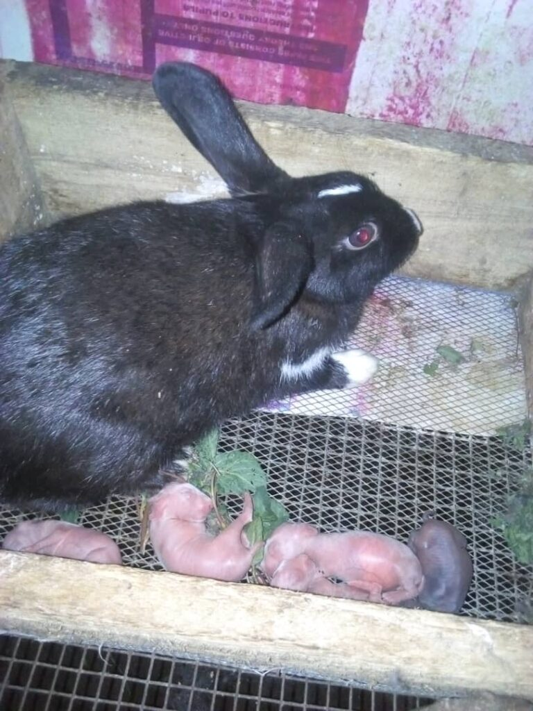 Female Dutch rabbits with her newly born baies