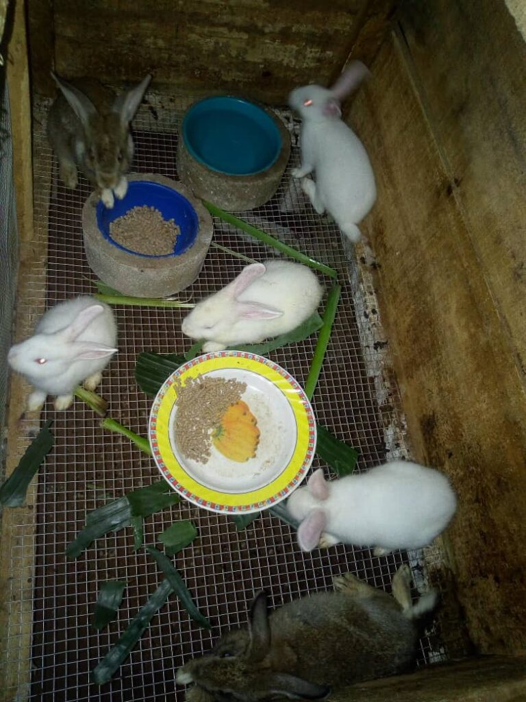 New Zealand White rabbit, Chinchilla grey rabbit, rabbit house, feeding and drinking bowl