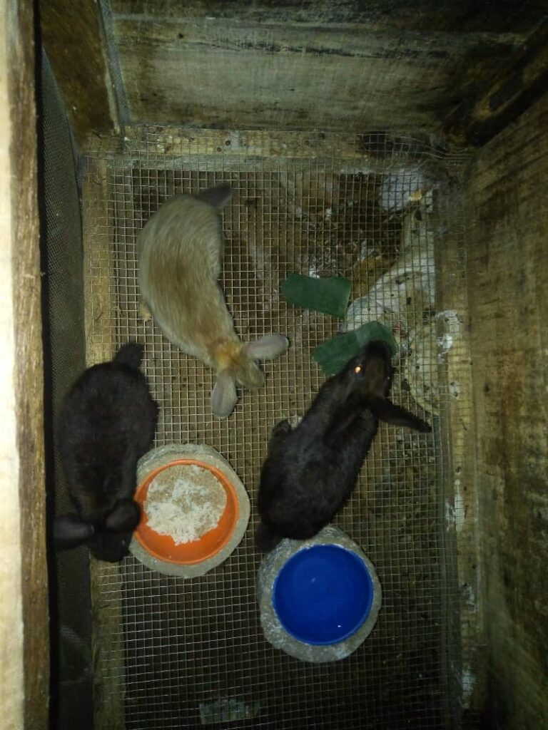 Dutch (Black) rabbits, Chinchilla rabbit feeding in a rabbit pen