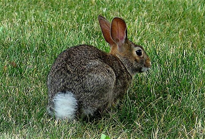 Cottontail Rabbit Breed